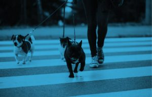 woman walking three dogs